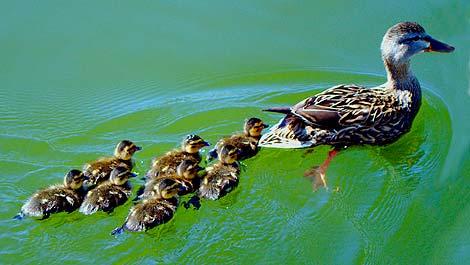 Esto es lo que vengo a ser estos días: un pato instructor