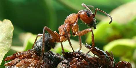 Hormiga roja. Esta bien pudiera ser 103 | Foto: Richard Bartz